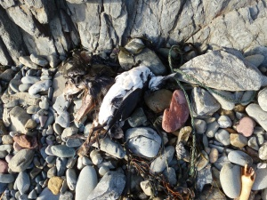 Guillemot washed up on beach at Marloes Sands, 25 Feb 2014