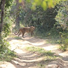 Leopard. Wilpattu National Park is renowned for its leopards. This one was a large male that we saw lounging about on a sand bank beside one of the many lakes. After a while he walked along the edge of the lake and our tracker guessed (correctly) that he would cross a track. We drove a high speed, reaching the track just as he emerged from the forest and disappeared. We could hear the langurs and macaques barking in alarm as he walked away from us.