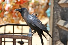 House Crow (Corvus splendens)
