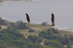 White-bellied Sea Eagles (Haliaeetus leucogaster) PHOTO: Mike Birkhead