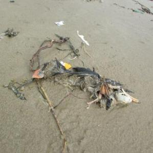 Remains of Puffin washed up on beach 21 Feb 2014